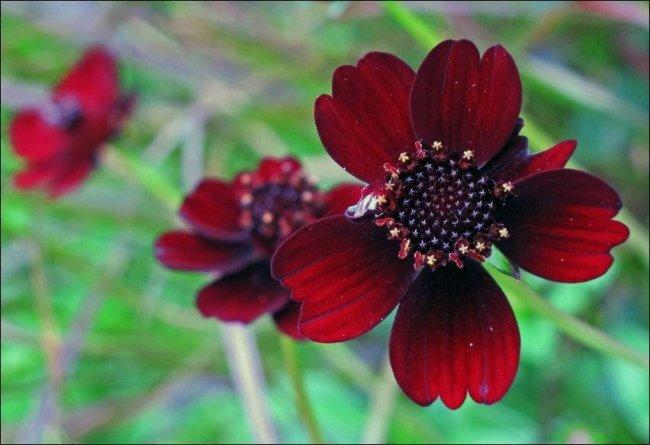 Существует цветок, который пахнет, как шоколад (2 фото)