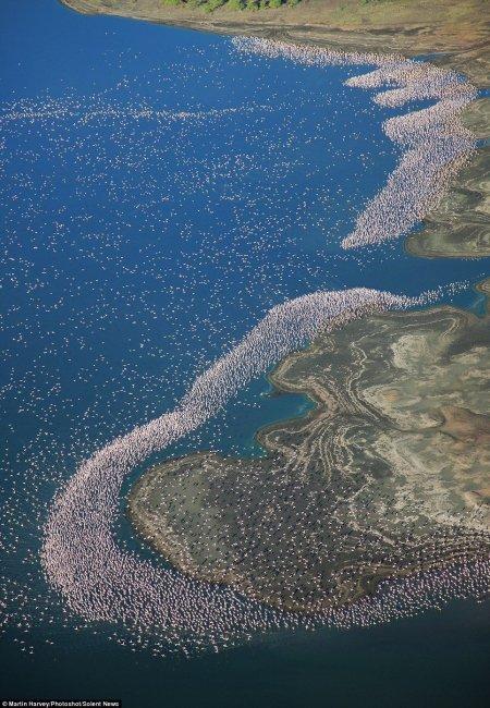 Тысячи фламинго на озере Богория (7 фото)