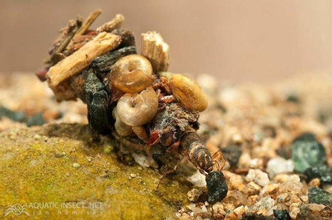 Удивительные жилища личинки ручейника (13 фото)