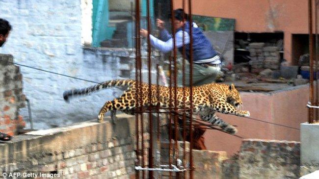 Леопард на улицах города Мератх, Индия (6 фото)