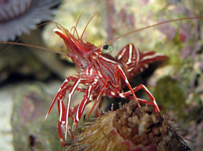 Пресноводные аквариумные креветки