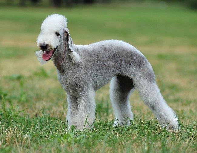 Породы собак: бедлингтон терьер