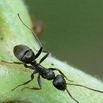 Как бороться с садовыми муравьями