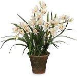 Орхидея цимбидиум: уход и содержание