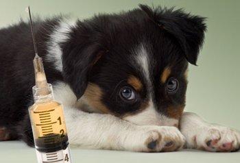 Когда делать прививки щенку: схемы и график прививок