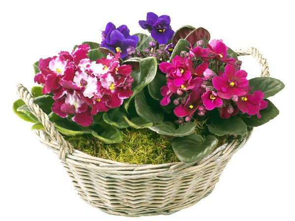 Комнатные растения: фиалка (сенполия)