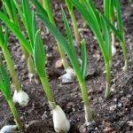 Как вырастить чеснок
