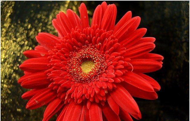 Как вырастить здоровую герберу у себя в саду