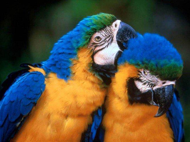Клещи у попугаев