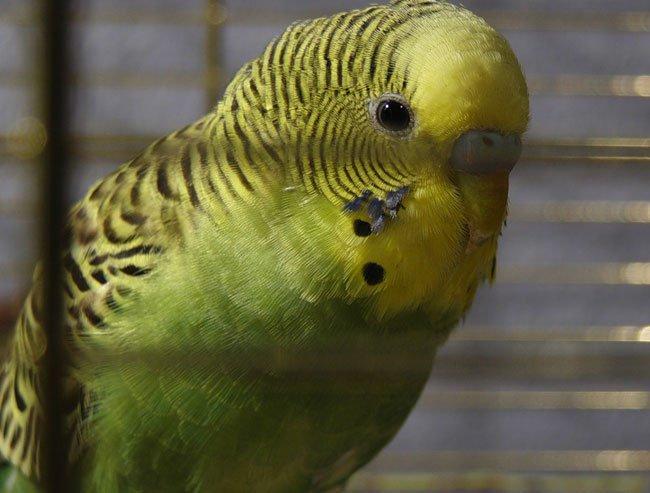 Что нужно знать о клетках для попугаев?