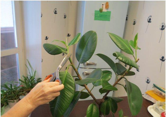 Правильное выращивание и размножение фикусов дома