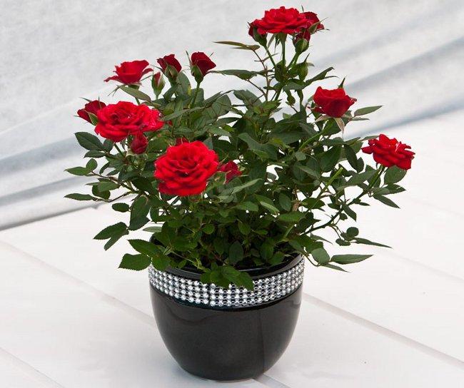 Роза в домашних условиях: уход и содержание