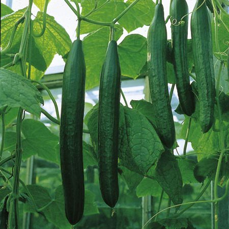 Семена огурцов: как проращивать? Как замачивать и сажать, как прорастить семена огурцов?