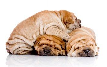 Корм для шарпея: чем кормить щенков и взрослых шарпеев?