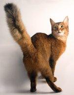Породы кошек: сомалийская кошка