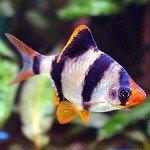 Суматранский барбус в вашем аквариуме
