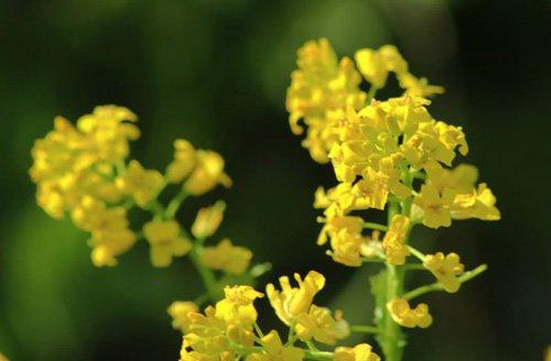 Трава сурепка лекарственная: фото, применение, рецепты