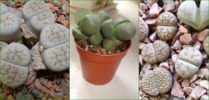 Живые камни - цветы